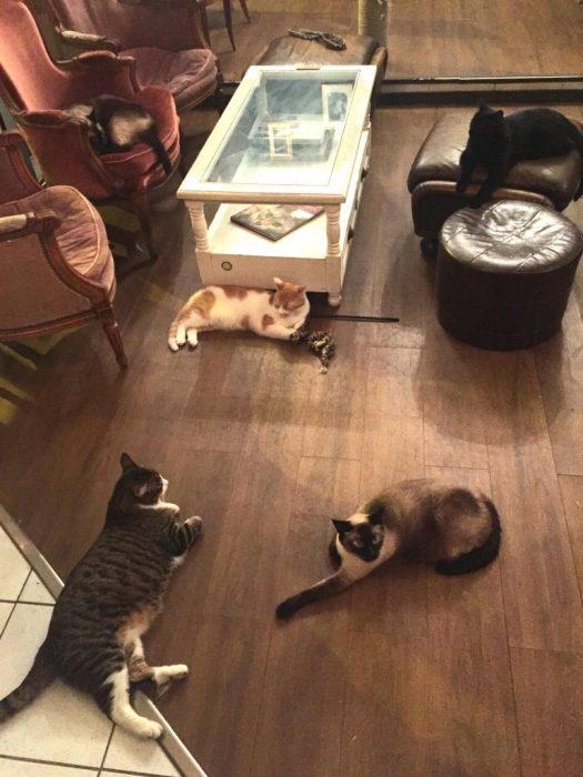 café des chats