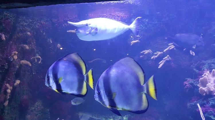 poisson licorne et poissons chirurgiens